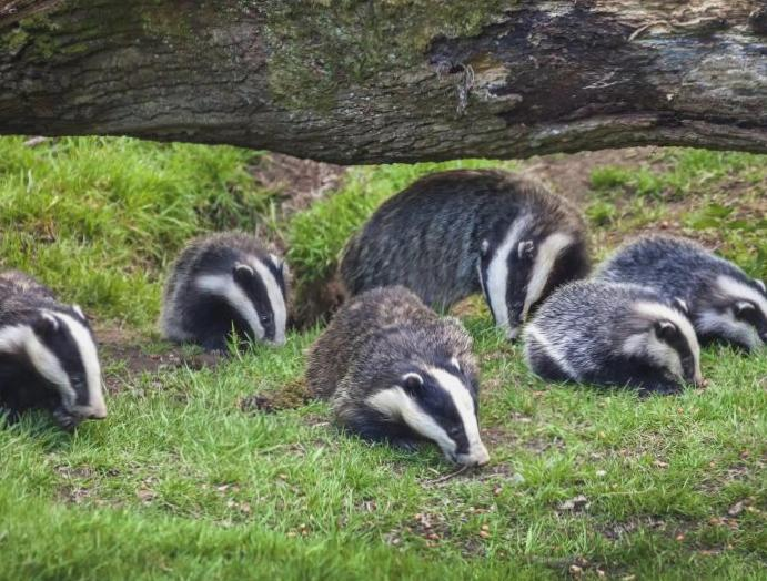 Badger cull TB worse, scientists