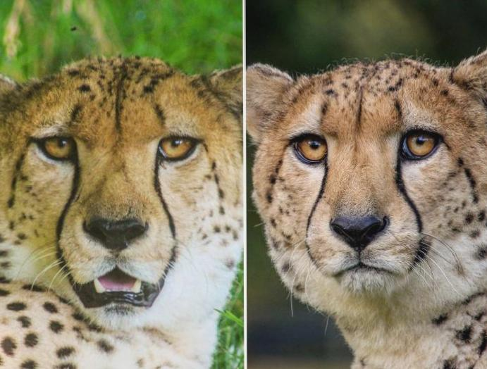 British-born cheetahs released South Africa