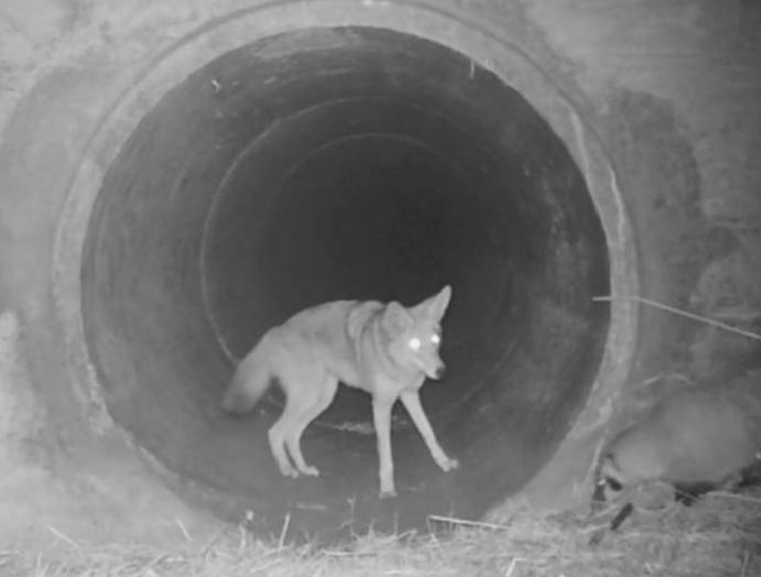 Coyote badger seen travelling footage