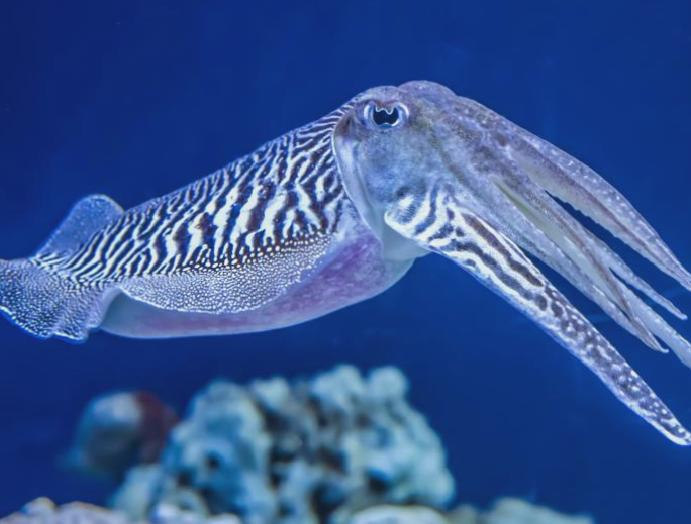 Cuttlefish favourite is later, finds