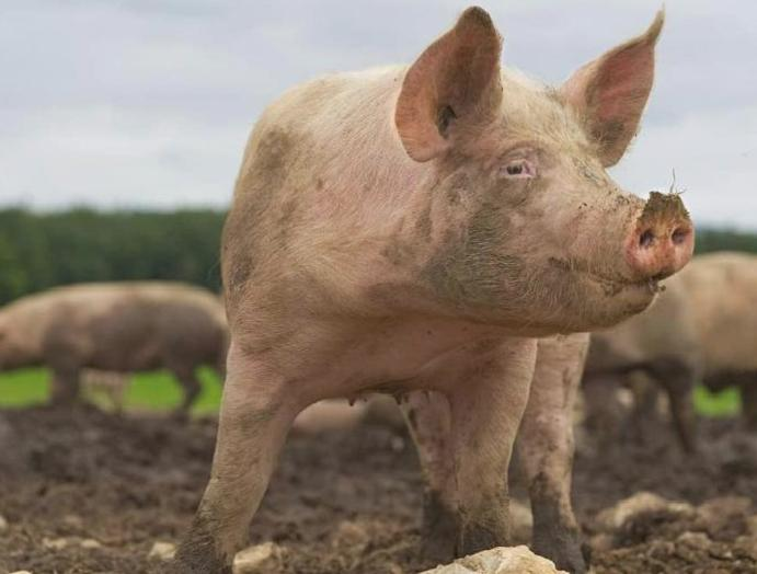 Missing Polish was eaten pigs, officials