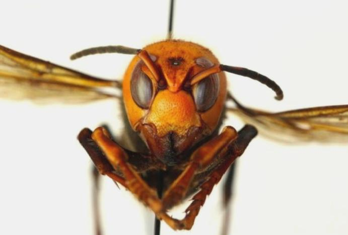 Murder hornets: The predatory Asian insects threatening decimate US bees
