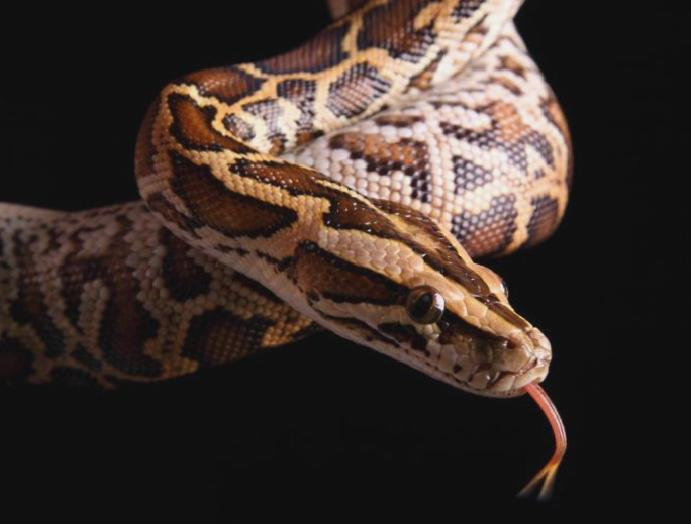 Pythons slit 'in pieces' Scottish