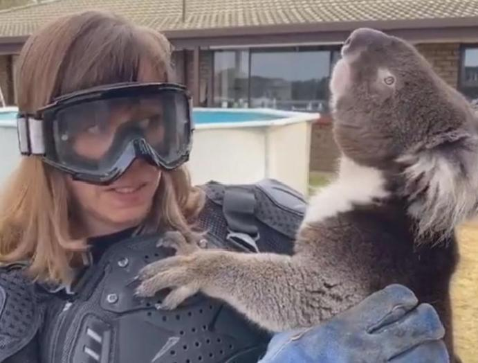 TV falls on-air prank wears armour koala told is 'vicious' poisonous fangs