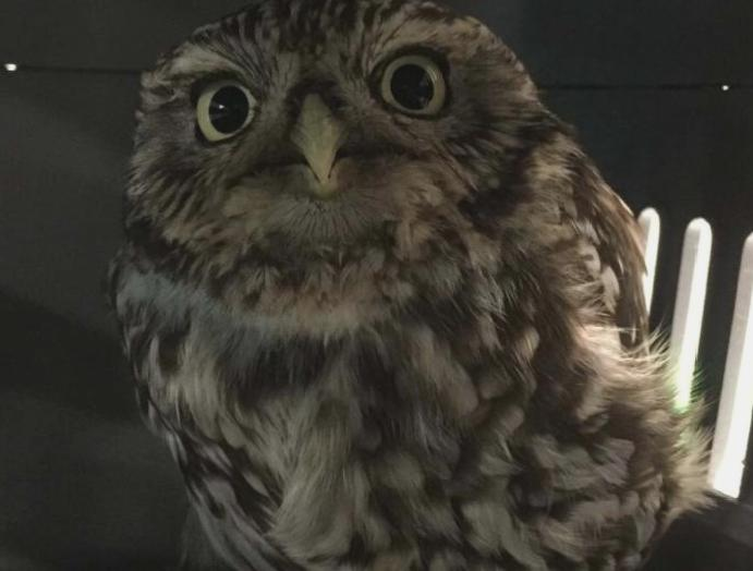'Extremely obese' owl ditch was